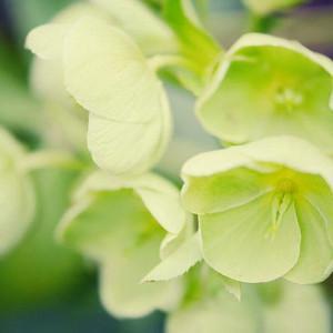 Helleborus Argutifolius,Holly-Leaved Hellebore,Corsican Hellebore, Helleborus corsicus, Helleborus lividus subsp. corsicus, white flowers,shade plants