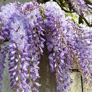 Wisteria 'Caroline', Fragrant Vine, Purple Flowers, Lavender Flowers, Wisteria floribunda 'Caroline