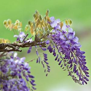 Wisteria Brachybotrys 'Okayama',Wisteria 'Okayama', Wisteria venusta 'Okayama', Purple Wisteria,Fragrant Vines, Silky Wisteria, Purple Flowers
