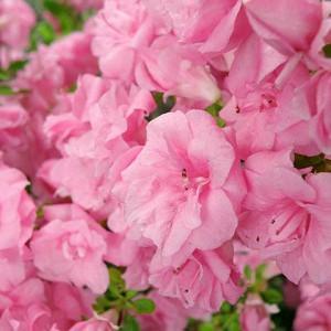 Rhododendron 'Rosebud','Rosebud' Rhododendron, 'Rosebud' Azalea, 'Rose Bud' Evergreen Azalea, Midseason Azalea, Gable Hybrid, Pink Azalea, Pink Rhododendron, Pink Flowering Shrub, Pink Evergreen Shrub