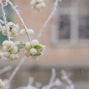Symphoricarpos Albus, Common Snowberry, Snowberry, Waxberry, Symphoricarpos albus var. albus, Ice Apple, Symphoricarpos pauciflorus, Symphoricarpos racemosus, White Coralberry, White Snowberry,shrubs, fall color, white berries, shrub with berries