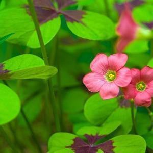Oxalis tetraphylla 'Iron Cross', Good Luck Plant 'Iron Cross', Iron Cross Oxalis, Red flowers, Foliage Plant