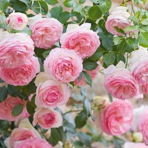 Rose 'Meiviolin', Climbing Rose 'Meiviolin', Rosa 'Eden Rose '88', Rosa 'Eden Rose '85', Rosa 'Pierre de Ronsard', Rosa 'Eden Climber', Climbing Hybrid Tea Rose 'Meiviolin', Pink roses, climbing roses, fragrant roses, Favorite roses, AGM Roses