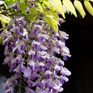 Wisteria Brachybotrys 'Murasaki-kapitan',Wisteria 'Murasaki-Kapitan', Silky Wisteria Murasaki-kapitan', White Wisteria,Fragrant Vines, Silky Wisteria, White Flowers, Blue Wisteria, Purple Wisteria