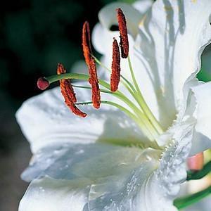 Lilium 'Casa Blanca', Lily 'Casa blanca', Oriental lily 'Casa blanca', Lilium 'Casa Blanca', Summer flowering Bulb, mid summer lilies, late summer lilieswhite lilies, Award lilies
