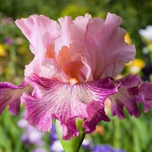 Iris 'Musician', Tall Bearded Iris 'Musician', Iris Germanica 'Musician', Early Midseason Irises, Pink irises, Award Irises, Bicolor Irises, Lilac Irises, Lavender Irises