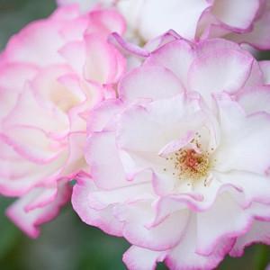Rose 'Handel', Rosa 'Handel', Rosa 'Climbing Handel', Rosa 'Haendel', Rosa 'Macha', Rosa 'McGredy's Händel', Climbing Rose 'Handel', Climbing Roses, Hybrid Tea Roses, Pink roses,fragrant roses, Shrub roses, Rose bushes, Garden Roses