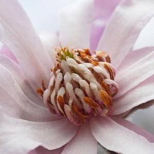 Magnolia × loebneri 'Leonard Messel',Magnolia 'Leonard Messel',Saucer Magnolia, Pink magnolia, Winter flowers, Spring flowers, Pink flowers, fragrant trees, fragrant flowers