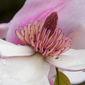 Magnolia 'Daybreak', Daybreak Magnolia, Pink magnolia, Winter flowers, Spring flowers, Pink flowers, fragrant trees, fragrant flowers