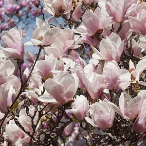 Magnolia × soulangeana Alba Superba, Magnolia × soulangeana 'Alba', Alba Superba Saucer Magnolia, Alba Superba Tulip Magnolia, Alba Superba Chinese Magnolia, White magnolia, Pink magnolia, Winter flowers, Spring flowers, White flowers, Pink flowers, fragrant trees, fragrant flowers