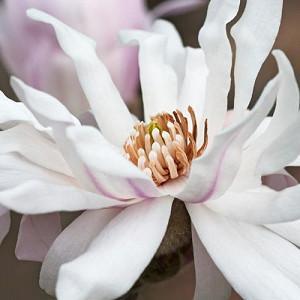Magnolia stellata 'Centennial', Star Magnolia, Star Magnolia 'Centennial' , White magnolia, Winter flowers, Spring flowers, White flowers, fragrant trees, fragrant flowers
