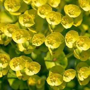 Euphorbia Characias, Spurge, Mediterranean Spurge, Euphorbia Characias subsp. Wulfenii