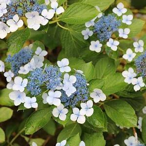 Hydrangea serrata 'Bluebird', Mountain Hydrangea 'Bluebird', Bluebird Mountain Hydrangea, Hydrangea serrata 'Acuminata', Hydrangea serrata var. acuminata, Blue Flowers, Blue Hydrangea
