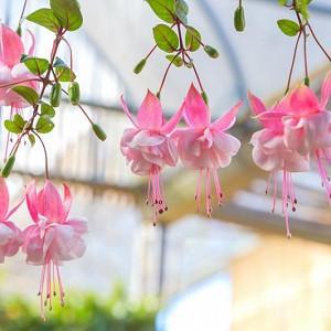 Fuchsia Claudia, Hardy Fuchsia, Flowering Shrub, Pink Flowers, Double Fuchsia, Hanging Baskets
