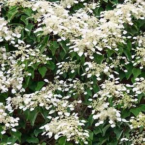 Hydrangea anomala subsp. petiolaris, Climbing Hydrangea, Hydrangea petiolaris, Hydrangea scandens Maxim., white hydrangea, white flowers