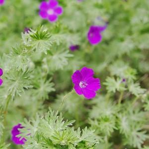 Geranium Sanguineum, Bloody Cranesbill, Bloody Geranium, Hardy Geranium, Purple Geranium, Purple Flowers