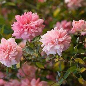 Rose 'Paul Noel', Rosa 'Paul Noel', Rose Paul Transon, Rosa Paul Transon, Hybrid Wichurana Roses, Large-Flowered Climber Roses, Rambler Roses, English Roses, Pink roses, climbing roses, very fragrant roses, Favorite roses, AGM Roses
