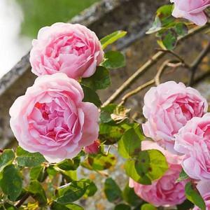 Rose 'Constance Spry', Rosa 'Constance Spry', Rosa 'Austance', Shrub Rose 'Constance Spry', Climbing Rose 'Constance Spry', David Austin Roses, English Roses, Climbing Roses, Pink roses, Shrub roses, Rose bushes, Garden Roses