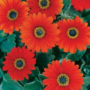 Arctotis, arctotis x hybrida, Arctotis x hybrida Pumpkin Pie, Arctotis 'Pumpkin Pie', Arctotis Hybrid 'Archley', Drought tolerant flowers, Orange flowers, orange African Daisies