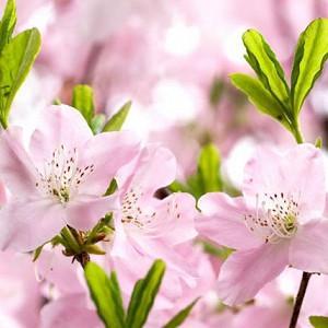 Rhododendron Schlippenbachii,Royal Azalea, Deciduous Azalea, Early Midseason Azalea, Pink Azalea, Pink Rhododendron, Pink Flowering Shrub, Fragrant Azalea