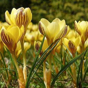 Crocus Chrysanthus 'Gipsy Girl', Crocus 'Gipsy Girl', Snow Crocus, Botanical Crocus, Spring Bulbs, Spring Flowers, Early spring bulb, yellow crocus
