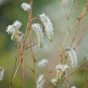 Sanguisorba Tenuifolia var. Alba, Burnet,  White Japanese Burnet, White Oriental Burnet, Sanguisorba Tenuifolia 'Alba',perennial plant, foliage plant, white flowers