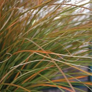 Carex Testacea, New Zealand Hair Sedge, Orange Sedge, Ornamental grasses, Ornamental grass, Decorative grasses, grasses, perennial grasses