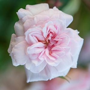Rose 'Cecile Brunner', Rosa 'Cecile Brunner', Rose 'Madame Cécile Brunner, Rose 'Mlle Cécile Brunner', Rose 'Mignon', Rose 'True Friend', Climbing Roses, Polyantha Roses, Pink roses, Rose bushes, Garden Roses