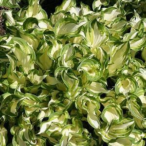 Hosta 'Undulata', Wavy Plantain Lily, Variegated Wavy Plantain Lily, Shade perennials, Plants for shade, Hosta Undulata var. Albomarginata, Hosta Undulata var. Erromena,Hosta Undulata var. Undulata, Hosta Undulata var. Univittata
