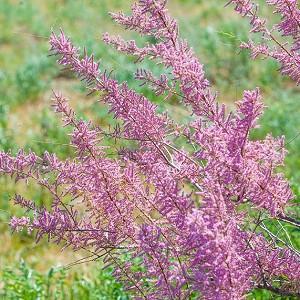 Tamarix ramosissima, Tamarisk, Saltcedar, Salt Cedar, Five-stamen Tamarix, Flowering Shrub, Pink flowers