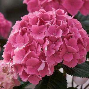 Hydrangea Macrophylla 'Altona', Bigleaf Hydrangea 'Altona', French Hydrangea 'Altona', Mophead Hydrangea 'Altona', Pink hydrangea, Blue hydrangea,Purple hydrangea