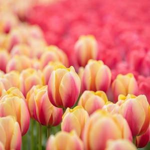 Tulipa 'Marit', Tulip 'Marit', Darwin Hybrid Tulip 'Marit', Darwin Hybrid Tulips, Spring Bulbs, Spring Flowers, Red Tulip, Yellow Tulip, Bi-color Tulip