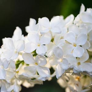 Syringa vulgaris 'Avalanche',Syringa 'Avalanche', Lilac 'Avalanche', White lilac, Fragrant Lilac, White Flowers, Fragrant Shrub, Fragrant Tree