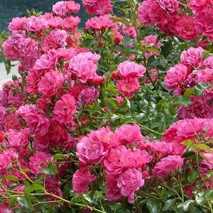Rose 'Flower Carpet Pink Supreme', Rose 'Flower Carpet Pink', Groundcover Roses, Pink roses