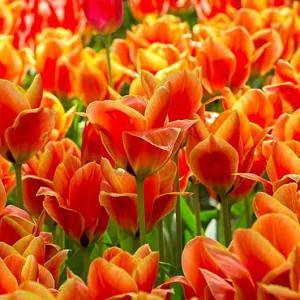 Tulipa Calypso,Tulip 'Calypso', Greigii Tulip 'Calypso', Greigii Tulips, Spring Bulbs, Spring Flowers, Tulipe Cape Cod,Greigii Tulips, Orange Tulips, Tulipes Greigii