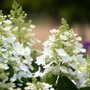 Hydrangea Paniculata 'Tardiva', Hydrangea 'Tardiva', Tardiva Hydrangea, White Flowers, White Hydrangea