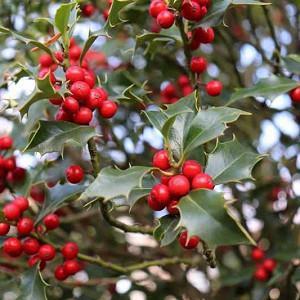 Ilex Red Beauty, Holly 'Red Beauty', Red Beauty Holly, red berries, evergreen shrub, Aquifoliaceae, Berry, holly, Ilex, winter shrub, Ilex Rutzan