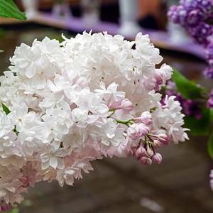 Syringa vulgaris 'Beauty of Moscow',Syringa 'Beauty of Moscow', Lilac 'Beauty of Moscow', White lilac, Fragrant Lilac, White Flowers, Fragrant Shrub, Fragrant Tree