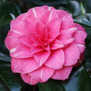 Camellia Japonica 'April Rose', Camellia 'April Rose','April Rose' Camellia, Cold Hardy Camellias, Camellia Hybrids, Pink flowers, Spring Camellias, Spring Blooming Camellias,Late Season Camellias