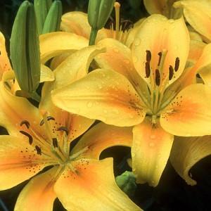 Lilium 'Pollyanna', Lily 'Pollyanna', Asiatic Hybrid Lily 'Pollyanna', Summer flowering Bulb, early summer flowering lilies, yellow lilies, bicolor lilies, Award lilies