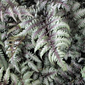 Athyrium Niponicum var. Pictum 'Silver Falls',Painted Lady Fern 'Silver Falls', Athyrium niponicum f. metallicum 'Silver Falls', Athyrium niponicum 'Silver Falls', Shade plants, shade perennial, plants for shade, plants for wet soil, Silver Foliage Plant