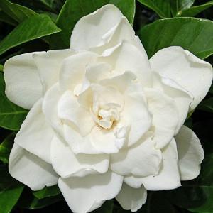 Gardenia jasminoides Coconut Magic, Cape Jasmine 'Coconut Magic', Coconut Magic Cape Jasmine, Cape Jessamine 'Coconut Magic', Hardy Gardenia, Fragrant flowers, evergreen shrub, White flowers,