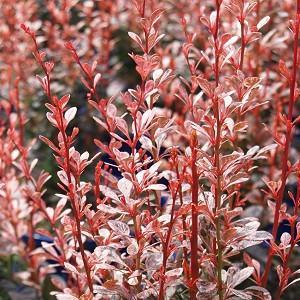Berberis thunbergii Rosy Rocket, Japanese Barberry 'Rosy Rocket', Thunberg's Barberry 'Rosy Rocket', Deciduous Shrubs, Foliage Shrub, Shrub with berries, Pink shrub, Fall color