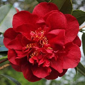 Camellia Japonica 'Bob Hope', Camellia 'Bob Hope', 'Bob Hope' Camellia, Camellia 'Hebe', Winter Blooming Camellias, Spring Blooming Camellias, Mid Season Camellias, Red flowers, Red Camellias