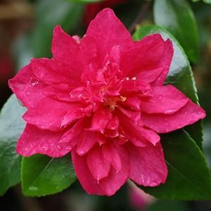 Camellia Sasanqua 'Bonanza', Camellia 'Bonanza', 'Bonanza' Camellia, Fall Blooming Camellias, Winter Blooming Camellias, Red flowers, Red Camellias, Early Season Camellias