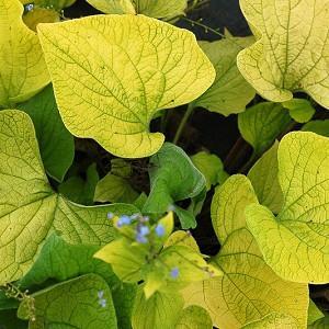 Brunnera Diane's Gold, Brunnera macrophylla 'Diane's Gold', Siberian Bugloss Diane's Gold, Hearleaf Brunnera Diane's Gold, False Forget-Me-Not Diane's Gold, blue flowers, spring flowers