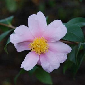 Camellia 'Winter's Star','Winter's Star' Camellia, Cold Hardy Camellias, Camellia Hybrids, Winter Series Camellias, Pink flowers, Fall Camellias, Fall Blooming Camellias, Winter Blooming Camellias, Early Season Camellias