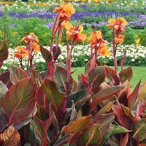 Canna Indica 'Purpurea', Indian Shot 'Purpurea', Cana Lily Wyoming, Canna Lily bulbs, Canna lilies, Orange Canna Lilies, Purple Leaves
