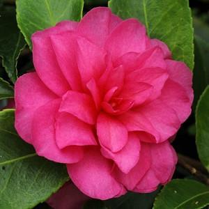 Camellia Hiemalis 'Chansonette', Camellia 'Chansonette', 'Chansonette' Camellia, Camellia sasanqua 'Chansonette', Fall Blooming Camellias, Winter Blooming Camellias, Early Season Camellias, Pink flowers, Pink Camellias