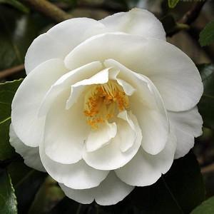 Camellia x Williamsii 'China Clay', Camellia 'China Clay', 'China Clay' Camellia, Fall Blooming Camellias, Winter Blooming Camellias, Spring Blooming Camellias, Mid to Late Season Camellias, White flowers, White Camellias